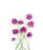 I fiori di allium contro un bianco Fotografie Stock Libere da Diritti