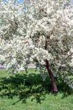 I fiori di Apple sono sul libro paga sui precedenti di erba verde Fotografie Stock Libere da Diritti