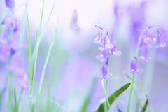 I fiori di campanule sbocciano sul pavimento britannico della foresta nella primavera immagine stock libera da diritti
