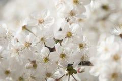 I fiori di ciliegia durante la primavera vaga del fondo della natura fiorisce Fotografia Stock