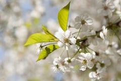 I fiori di ciliegia durante la primavera vaga del fondo della natura fiorisce Immagine Stock