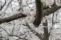 i fiori di ciliegia Pieno-fioriti a Kumagaya Arakawa Ryokuchi parcheggiano in Kumagaya, Saitama, Giappone Fotografia Stock Libera da Diritti