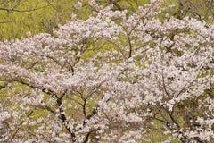 I fiori di ciliegia rosa e bianchi hanno evidenziato weaping gli alberi di salice in fiore Fotografia Stock Libera da Diritti