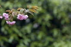I fiori di ciliegia rosa si aprono davanti ai precedenti verde scuro Fotografia Stock