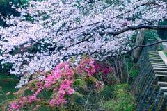 I fiori di ciliegia sono come neve immagini stock