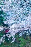 I fiori di ciliegia sono come neve fotografie stock