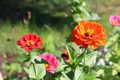 I fiori di colore rosso Fotografia Stock Libera da Diritti