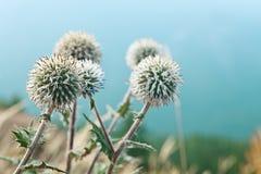 I fiori di Echinop si chiudono in su Immagini Stock