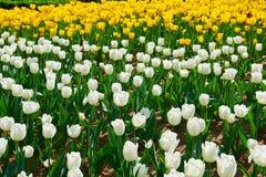 I fiori di fioritura del tulipano immagine stock