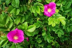 I fiori di fioritura rosa di scalata dell'arbusto di canina di Rosa, conosciuti comunemente come la rosa canina o selvaggi sono a immagine stock libera da diritti