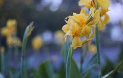 I fiori di giallo Fotografie Stock Libere da Diritti