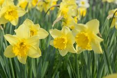 I fiori di giallo di colori si sono accesi dalla luce solare Front View Fotografia Stock