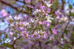I fiori di Inthanin stanno fiorendo in questo periodo Crei i bei colori per la gente e gli uccelli là sono fiori bianchi e porpor fotografia stock
