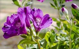 I fiori di Inticancha di Alstroemeria si chiudono su Immagini Stock Libere da Diritti