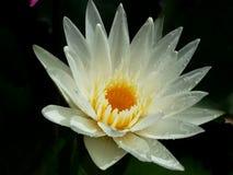 I fiori di loto bianco sono piena fioritura, molto bella immagine stock libera da diritti