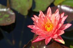 I fiori di loto variopinti fioriscono di mattina fotografia stock libera da diritti