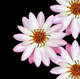 I fiori di Lotus hanno isolato il fondo nero Immagine Stock