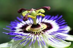I fiori di passione sono piante tropicali fotografie stock