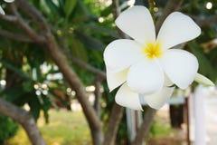 I fiori di plumeria Fotografia Stock