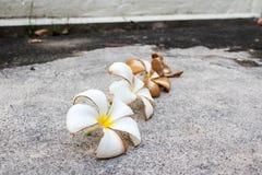 I fiori di plumeria hanno rappresentato al ciclo di vita sul pavimento di calcestruzzo Immagini Stock