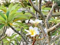 I fiori di plumeria ricevono la luce di mattina immagine stock