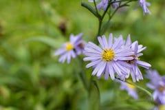 I fiori di porpora Fotografia Stock