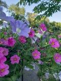 I fiori di porpora Fotografia Stock Libera da Diritti