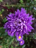 I fiori di porpora Fotografie Stock Libere da Diritti