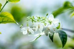 I fiori di religiosa di Wrightia, macro colpo dei fiori bianchi sono frag fotografia stock libera da diritti