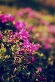 I fiori di rosa selvaggio di alpino sono aumentato sulla collina della montagna Fotografia Stock Libera da Diritti