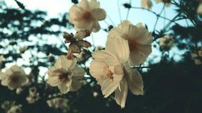 I fiori di Sulphureus dell'universo sistemano vicino su con i chiarori del sole video d archivio