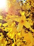 I fiori di suspensa di forsythia si chiudono su immagini stock