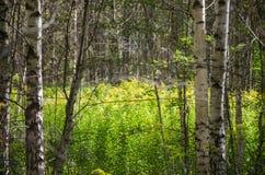 I fiori di verga aurea in un boschetto della betulla Fotografia Stock
