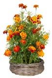 I fiori dorati del tagete coltivano la merce nel carrello Fotografia Stock