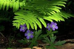 I fiori e la felce viola sul periodo di glaciazione strascicano Fotografia Stock