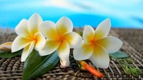 I fiori esotici tropicali di plumeria bianca fresca del frangipane sopra la piscina blu innaffiano stock footage