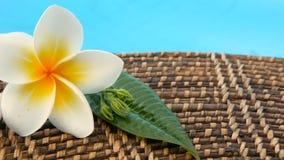I fiori esotici tropicali di plumeria bianca fresca del frangipane sopra la piscina blu innaffiano archivi video
