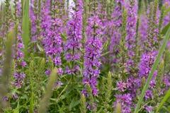 I fiori fertili dell'erba del salice di estate immagine stock libera da diritti