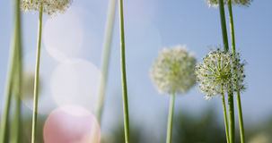 I fiori a forma di globo circolare bianco dell'allium soffiano nel vento Fotografie Stock
