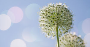 I fiori a forma di globo circolare bianco dell'allium soffiano nel vento Immagini Stock Libere da Diritti