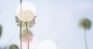I fiori a forma di globo circolare bianco dell'allium soffiano nel vento Immagine Stock