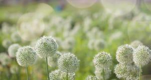 I fiori a forma di globo circolare bianco dell'allium soffiano nel vento Immagine Stock Libera da Diritti