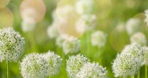I fiori a forma di globo circolare bianco dell'allium soffiano nel vento Fotografia Stock Libera da Diritti
