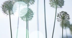 I fiori a forma di globo circolare bianco dell'allium soffiano nel vento Immagini Stock
