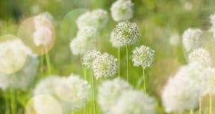 I fiori a forma di globo circolare bianco dell'allium soffiano nel vento Fotografia Stock