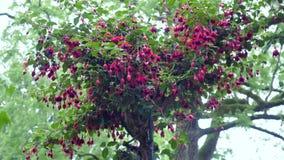 I fiori fucsia sul movimento della macchina fotografica dell'albero permette di vedere il fiore da tutti i lati stock footage