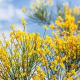 I fiori gialli del cytisus sfregano vicino su Immagine Stock Libera da Diritti