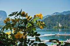 I fiori gialli nel lago hanno sanguinato con la chiesa su una piccola isola nel fondo, alpi slovene Fotografia Stock