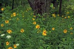 I fiori gialli nella foresta sul periodo di glaciazione strascicano Fotografia Stock