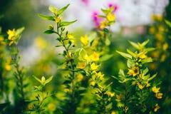 I fiori gialli si sviluppano in una grande erba verde in Crimea immagini stock